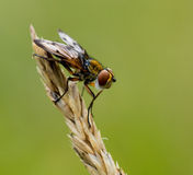 Crassipennisvlieg van Ectophasia Royalty-vrije Stock Foto's