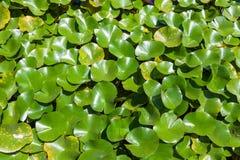 Crassipes d'Eichhornia Image stock