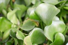 Crassipes d'Eichhornia, feuilles de vert de jacinthe d'eau Photographie stock