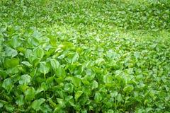 Crassipes do Eichhornia, conhecidos geralmente como o jacinto de água Imagens de Stock Royalty Free