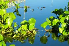 Crassipes do Eichhornia no pantanal e no rio Fotografia de Stock