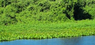 Crassipes do Eichhornia no pantanal e no rio Imagem de Stock