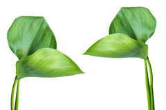 crassipes eichhornia风信花水 免版税图库摄影