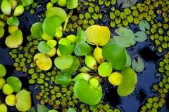 Crassipes Eichhornia, обыкновенно известные как общий гиацинт воды стоковое фото rf