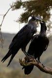 Crassirostris do Corvus. Águia do corvo. Fotografia de Stock