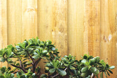 Crassula против деревянного backgrond Стоковое Изображение RF