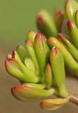 Crassula  Royalty Free Stock Photography