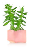 Crassula Stock Photos