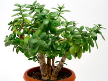 Crassula Foto de Stock