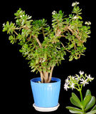 Crassula Arborescens. Stock Photo