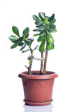 Crassula in brown pot Stock Photography