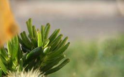 Crassula de la planta, suculento Fotografía de archivo libre de regalías