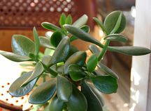 Crassula de la planta, suculento Foto de archivo