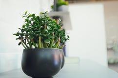 Crassula decorativa della pianta da appartamento fotografie stock libere da diritti