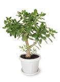 Crassula della pianta della Camera Immagini Stock