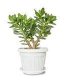 Crassula della pianta della Camera Fotografia Stock