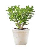 Crassula della pianta della Camera su un bianco Fotografia Stock Libera da Diritti