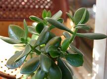 Crassula della pianta, succulente Fotografia Stock