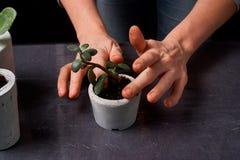 crassula en el pote concreto diy suculento y la viola Plantado solamente en potes En fondo negro El concepto de comodidad casera foto de archivo libre de regalías