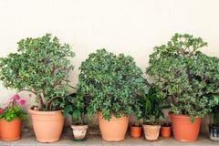 Crassula en geranium Stock Foto's