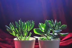 Crassula - Feng Shui växter Arkivfoto