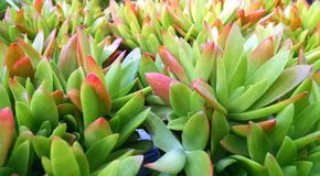 Crassula 'feu de camp' Images libres de droits