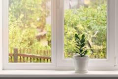 Crassula flower in pot on windowsill Stock Image