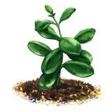 Crassula, geldboom, bloeit succulente geïsoleerde installatie, waterverfillustratie Stock Afbeeldingen