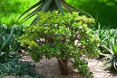 Crassula (money tree) . Royalty Free Stock Images