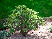 Crassula (money tree) . Royalty Free Stock Image