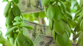 Crassula Money tree with dollars. Concept of investment, opportunities and consistency. Banknotes among symbol of well-being stock video