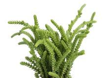 Crassula muscosa lycopodioides. Plant isolated on white background Stock Images