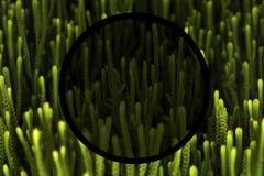 Crassula Muscosa suculento fotografía de archivo libre de regalías