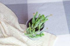 Crassula Nealeana, pianta succulente di fioritura verde in un vaso grigio sulla coperta tricottata, concetto domestico della deco fotografia stock libera da diritti
