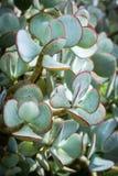 Crassula ovata. Beautiful succulent plants, close up Royalty Free Stock Photos