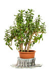 Crassula ovata or jade plant in flowerpot with money Royalty Free Stock Image