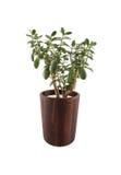 Crassula ovata in modern wooden pot. Crassula ovata. Green succulent plant in modern wooden pot isolated on white background Stock Images