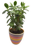 Crassula ovata - money tree Stock Image