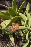 Crassula perfoliata close up. Red flower of Crassula perfoliata succulent plant stock image