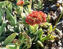 Crassula perfoliata var minor a succulent plant flowering. Crassula perfoliata var. minor a succulent plant flowering royalty free stock photos