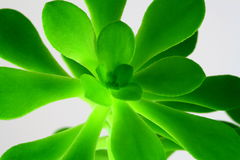 Crassula Plant. Crassula/Jade/Moneytree plant on a white background Royalty Free Stock Images