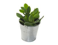 Crassula plant. Potted crassula plant on white background Royalty Free Stock Images