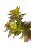 Crassula plant Royalty Free Stock Image