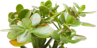 Crassula plant isolated Stock Images