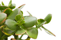 Crassula plant isolated Royalty Free Stock Photo