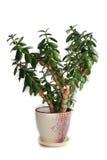 Crassula plant (money-tree) Stock Images