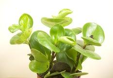 Crassula plant  Royalty Free Stock Photography