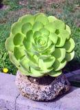 Crassula.succulent . Stock Photos