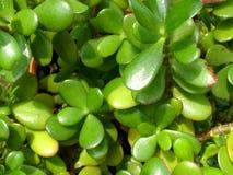 Crassula succulente Fotografia Stock Libera da Diritti