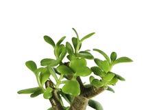 Crassula, Währungsbaum, Isolat, weißer Hintergrund Stockbild
